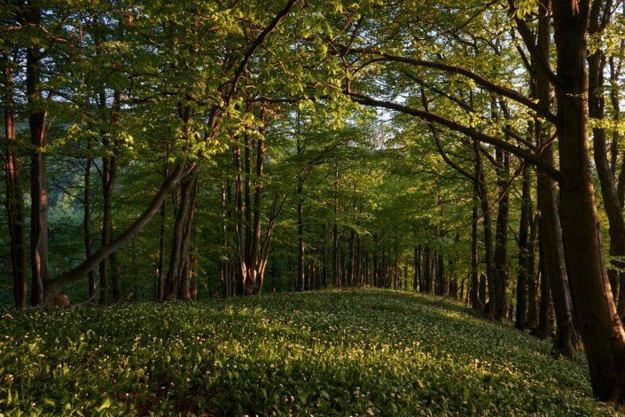 Halaša Ján - Jarný bukový les pod Borišovom